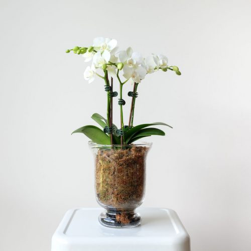 Lantern phalaenopsis vase