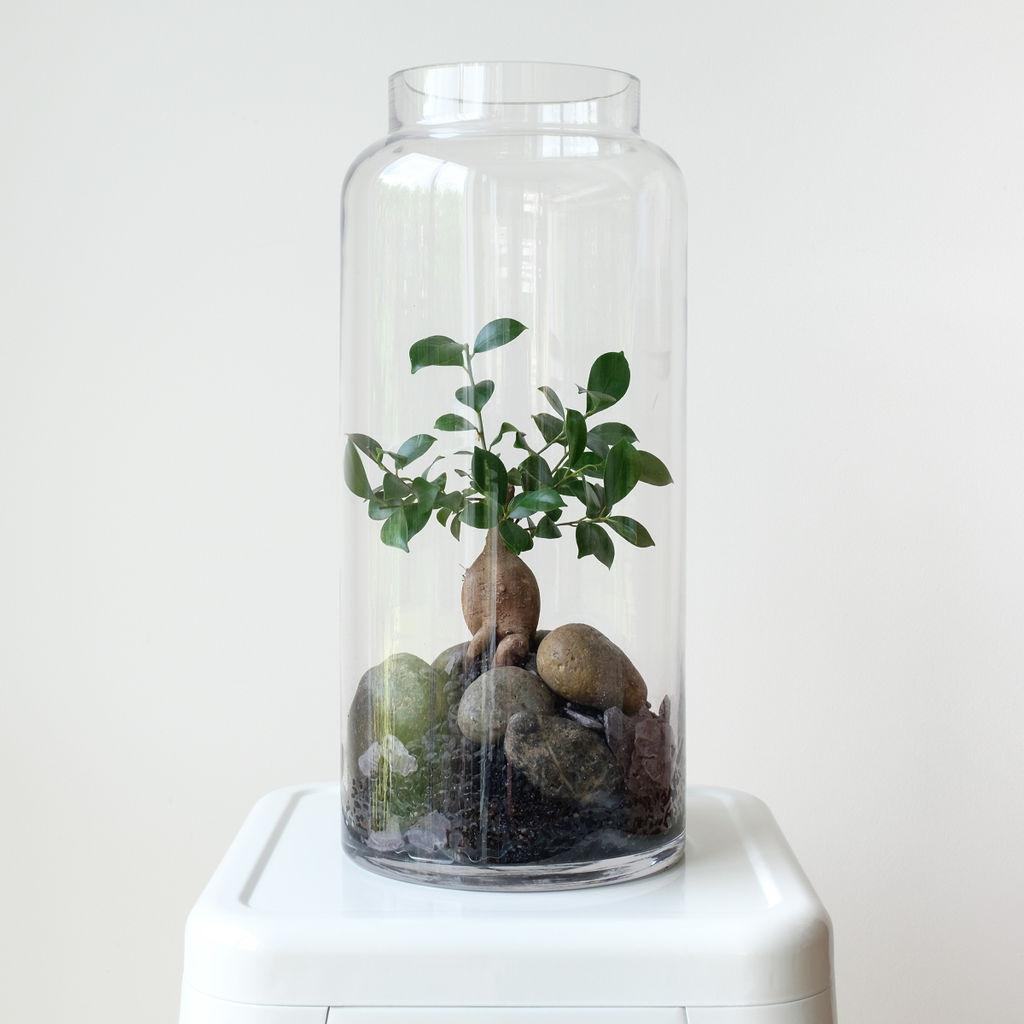 Bonsai Banyan Fig Terrarium French Blue Flowers
